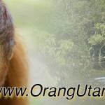orangutangreentour