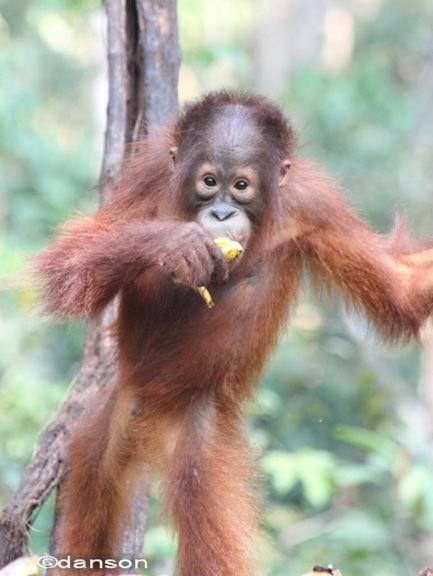 Tanjung Puting Tour, Pangkalan Bun - Central Borneo