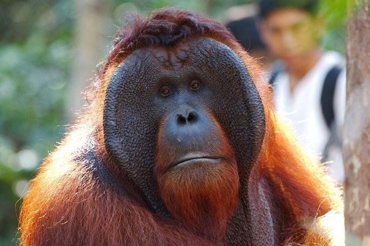 Orangutan Kalimantan Tour & Travel