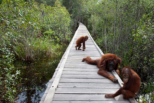 Borneo Orangutan Tour In Tanjung Putting National Park, Pangkalan Bun