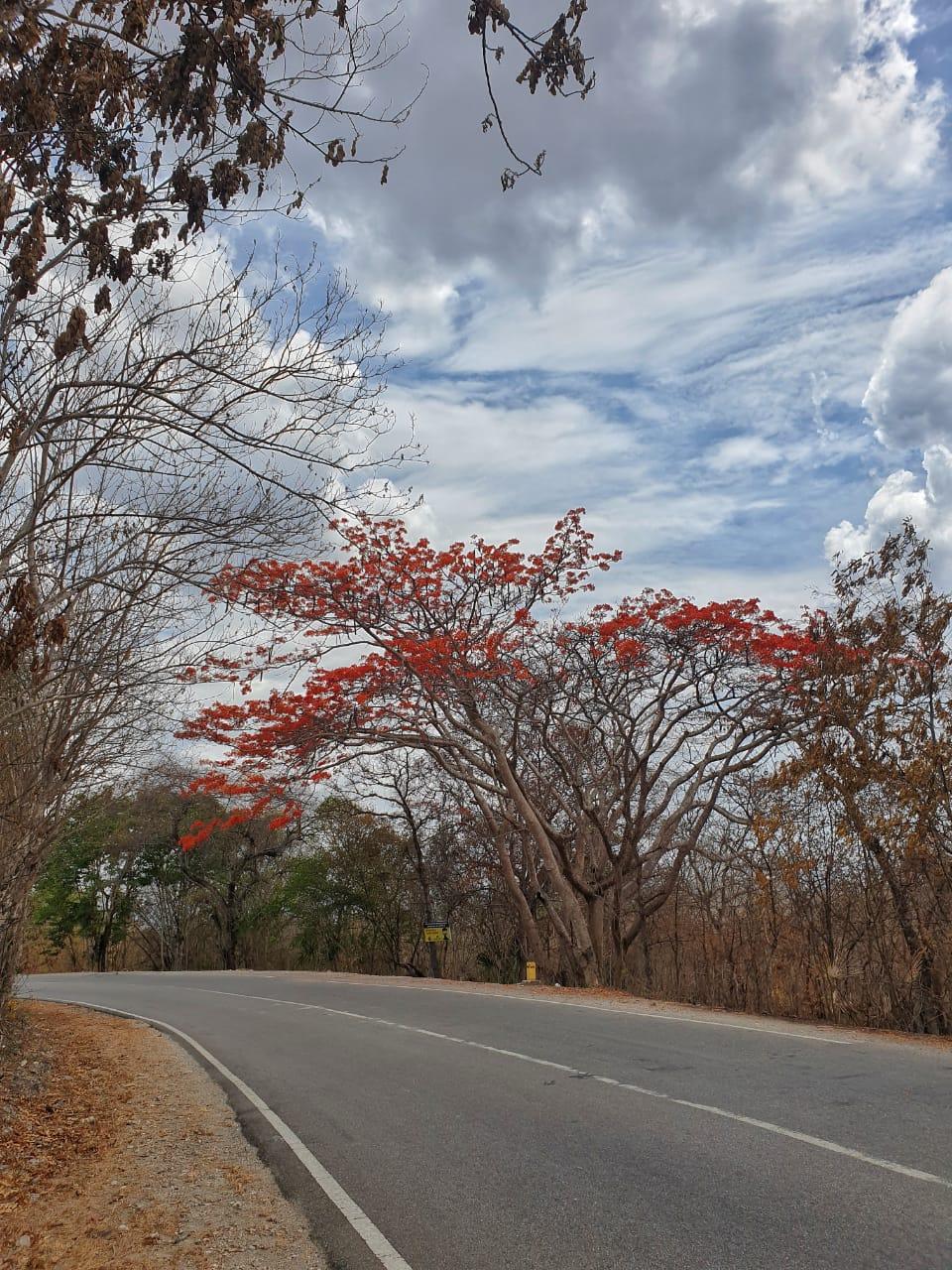 Sepe Flowers in Kupang City Blooms Beautifully in December