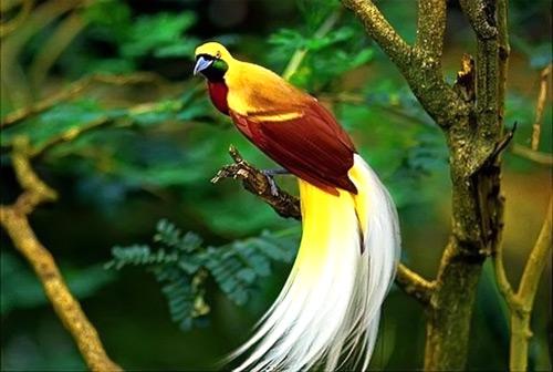 Rare Birds Of Paradise Papua Tourism -...