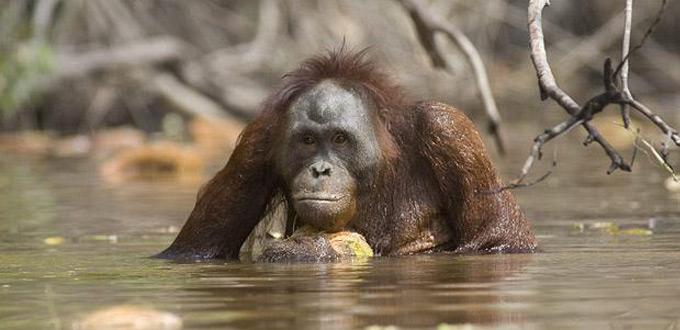 Orangutan-rungan-river-kalimantan-tengah