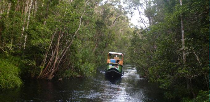 barito-wild-orangutan-kalimantan-Camp-Leakey