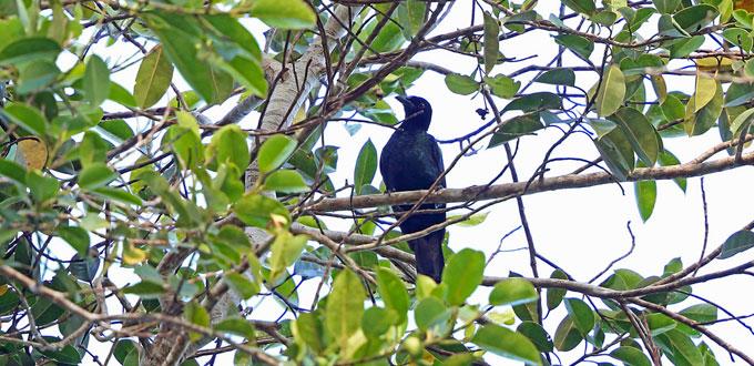 nimbokrang-bird-watching-papua